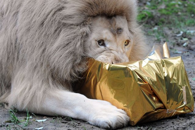 A white lion tries to open a package filled with chicken meat and wrapped as a Christmas gift at the zoo in La Fleche, western France, on December 23, 2013. (Photo by Jean-Francois Monier/AFP Photo)