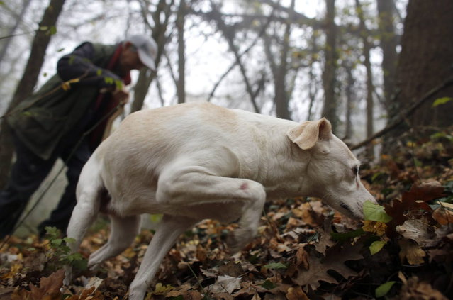 Truffle hunter Ezio Costa, 66, searches for truffles with his dog Jolly in the woods in Monchiero near Alba northwestern Italy November 9, 2013. (Photo by Stefano Rellandini/Reuters)