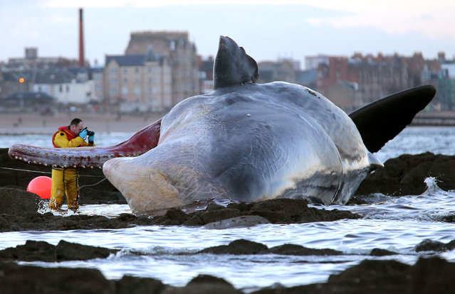 A marine rescue worker photographs a sperm whale that washed up on Portobello beach in Edinburgh, Scotland, Saturday, January 11, 2014. Police in Scotland and a Scottish Society for Prevention of Cruelty to Animals, SSPCA, team were called to Portobello beach near the Rockville hotel in Joppa, Edinburgh, at around 7.30 am Saturday. (Photo by Andrew Milligan/AP Photo/PA Wire)