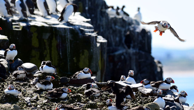 """The """"Puffin Census"""" commenced this week on the Farne islands off the Northumberland coast. (Photo by Paul Kingston/North News & Pictures/National Trust)"""