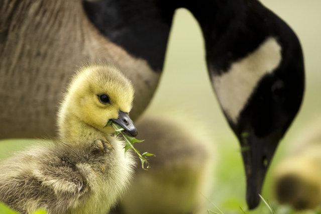 A Canada goose and a gosling feed near the Schuylkill River Friday, May 1, 2015, in Philadelphia. (Photo by Matt Rourke/AP Photo)