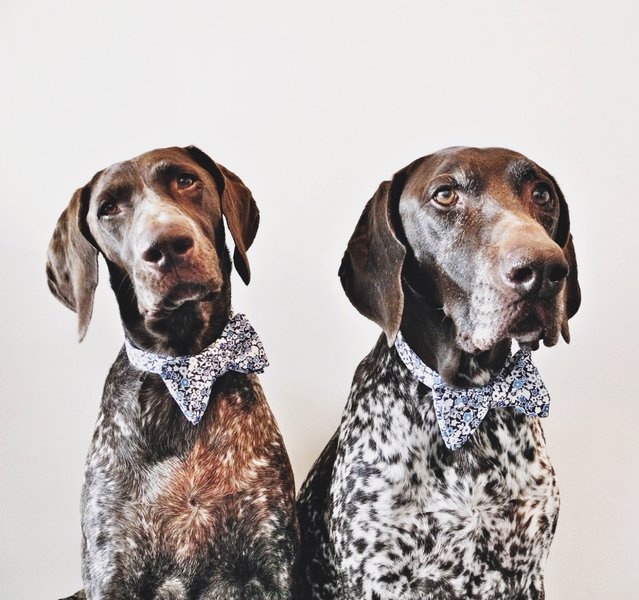 The Bond of Two German Shorthaired Pointers