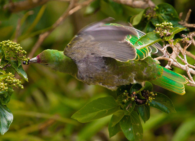A handout photo provided on March 8, 2017 by Nature shows a Mariana fruit dove (Ptilinopus roseicapilla) eating a fruit from a Premna serratifolia in Saipan in 2013. A non- native snake species that has already wiped out most of Guam' s tree- dwelling birds is also decimating the Pacific island' s forests, researchers said on March 8, 2017. Growth of new trees on the US island territory may have dropped by as much as 92 percent due to the snake' s presence, they reported in the journal Nature Communications. (Photo by Lainie Berry/AFP Photo/Nature Publishing)