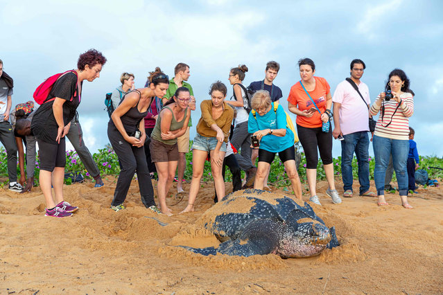 Onlookers take pictures as they observe a leatherback sea turtle, also known as the Luth turtle, laying eggs under the supervision of Kwata association members on a beach in Remire-Montjoly, French Guiana, on July 4, 2019. (Photo by Jody Amiet/AFP Photo)