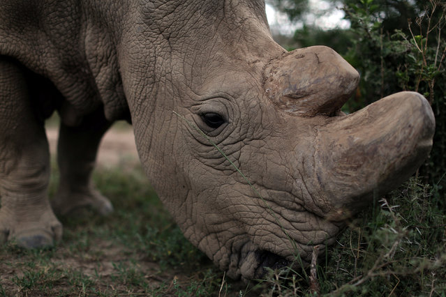 A northern white rhino, only three of its kind left in the world, moves in an enclosed and constantly protected perimeter ahead of the Giants Club Summit of African leaders and others on tackling poaching of elephants and rhinos, Ol Pejeta conservancy near the town of Nanyuki, Laikipia County, Kenya, April 28, 2016. (Photo by Siegfried Modola/Reuters)