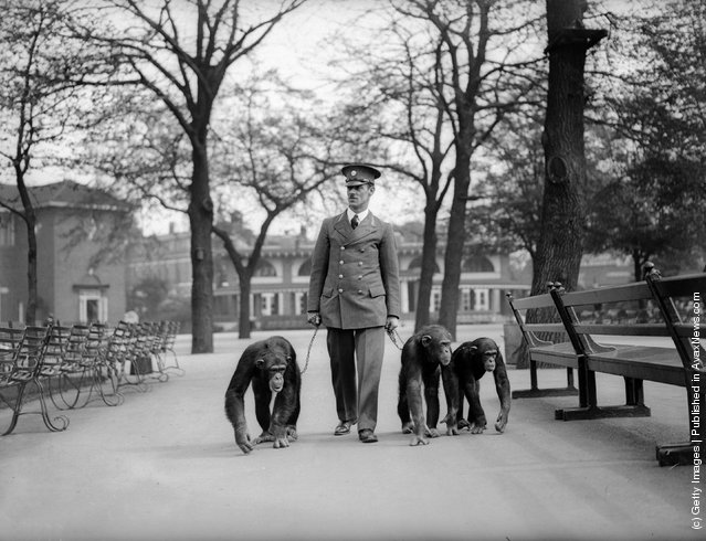 13th May 1931:  A keeper takes three chimpanzees for a walk on leads at London Zoo