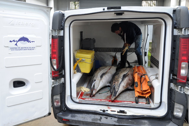 This file photo taken on February 05, 2017 shows an employee of the PELAGIS Marine Mammal Research Center loading in a van dolphins which stranded on the coast of Charente- Maritime in La Rochelle following the winter storms More than 800 dolphins were found stranded due to high tides and strong winds that hit France' s Atlantic coastal departments in February and March. (Photo by Xavier Leoty/AFP Photo)