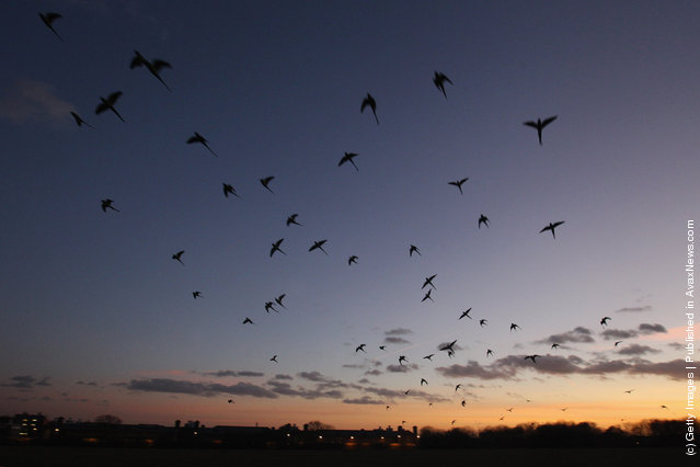 Parakeets Come Home To Roost At Wormwood Scrubs