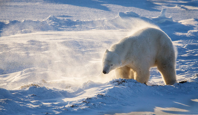 Male polar bear shaking off snow by Ian Stone in Hudson Bay, Canada. For two hours before the photo was taken, a blizzard had completely covered the surrounding area and the polar bear in snow. Ian waited until the weather calmed to capture the bear standing up and shaking the snow from its fur, ready to continue with its journey to the sea to hunt for seals. (Photo by Ian Stone/2019 Royal Society of Biology Photography Competition)