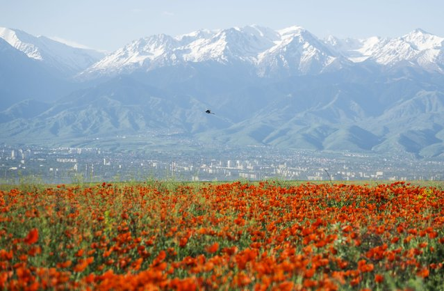 A bird flies over a blossoming poppy field against the backdrop of a city and the Tien Shan mountains at outskirts of Almaty, Kazakhstan, May 14, 2015. (Photo by Shamil Zhumatov/Reuters)