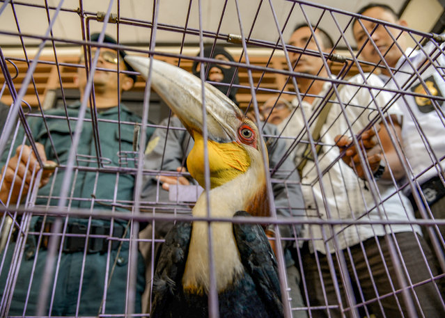 In this photograph taken on July 13, 2017 Indonesian officials surround a cage containing a hornbill bird in Sidoarjo, East Java province. Indonesian authorities have detained an alleged wildlife trafficker and seized nine protected slow lorises and a wreathed hornbill, an official said on July 14, 2017. (Photo by AFP Photo/Stringer)