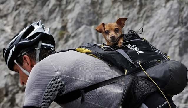 A cyclist with his dog in a backpack climbs the race route towards the finish line in Risoul prior to the arrival of the riders in the fourteenth stage of the Tour de France, on Jule 19, 2014. (Photo by Peter Dejong/Associated Press)