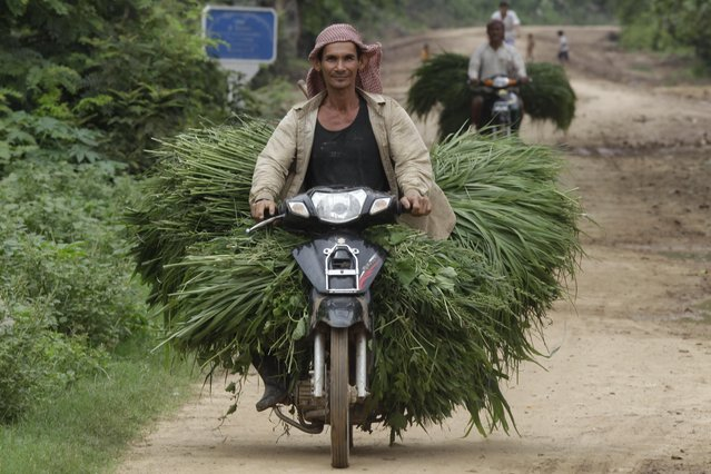 A Cambodian man transports grass for his cow during the rainy season along the Mekong river of Tanong, northeast of Phnom Penh, Cambodia, Wednesday, July 6, 2016. (Photo by Heng Sinith/AP Photo)