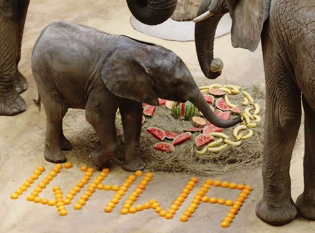 One year-old female elephant Iqhwa celebrates its first birthday at Schoenbrunn zoo in Vienna September 4, 2014. The elephant was born at the zoo on September 4, 2013, after 645 days of pregnancy of its mother Tonga, following the first ever successful insemination of an African elephant using frozen sperm taken from a wild elephant bull in South Africa. (Photo by Heinz-Peter Bader/Reuters)