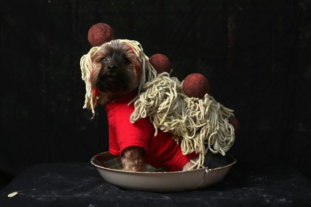 Yorkshire terrier Baxter poses as spaghetti and meatballs at the Tompkins Square Halloween Dog Parade on October 20, 2012 in New York City