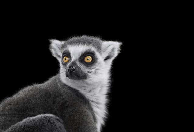 Lemur. (Photo by Brad Wilson/Caters News)