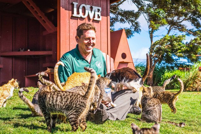 Keoni Vaughn, the Executive Director of the Lanai Cat Sanctuary sits whilst being innundated by cats below a Love sign at the haven of kittys. (Photo by Andrew Marttila/Caters News Agency)