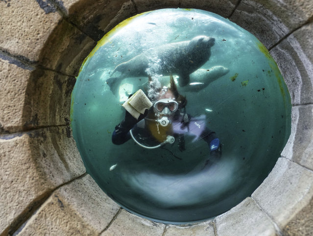 A diver cleans the inside window of the seal tank at Tynemouth Aquarium, Tynemouth, north east England, Thursday July 2, 2020, as it prepares to open on Saturday after the coronavirus lockdown restrictions are lifted in England. (Photo by Owen Humphreys/PA Wire via AP Photo)