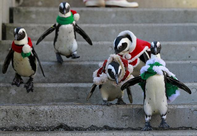 African penguins, wearing red and green holiday garments, take a walk at the Hakkeijima Sea Paradise aquarium-amusement park complex in Yokohama, southwest of Tokyo, Tuesday, December 12, 2017. (Photo by Shizuo Kambayashi/AP Photo)