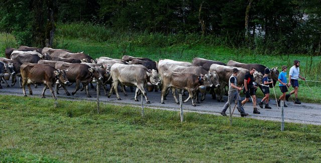 """Bavarian farmers escort cows during the traditional """"Almabtrieb"""" in Bad Hindelang, Germany, September 10, 2016. (Photo by Michaela Rehle/Reuters)"""