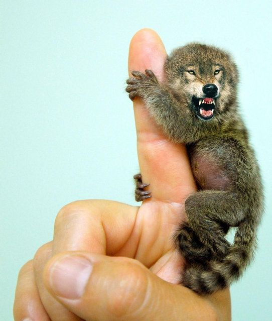 Cross between a  a wolf and a finger monkey – Ferocious Pygmy Marmowolf. (Photo by Sarah DeRemer/Caters News)
