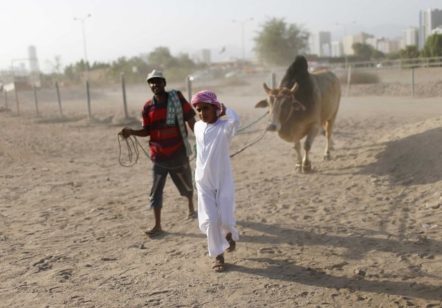 A boy pulls his family bull as he arrives during a bullfight in the eastern emirate of Fujairah October 17, 2014. (Photo by Ahmed Jadallah/Reuters)