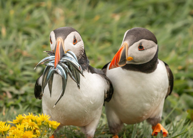 "Seriously, would you share some? Scotland. ""Atlantic puffins are amazing flyers and their fishing talents are, well, as you see, some do better than others! I just love the second puffin's look: can I just have one please?"". (Photo by Krisztina Scheeff/Comedy Wildlife Photography Awards 2020)"
