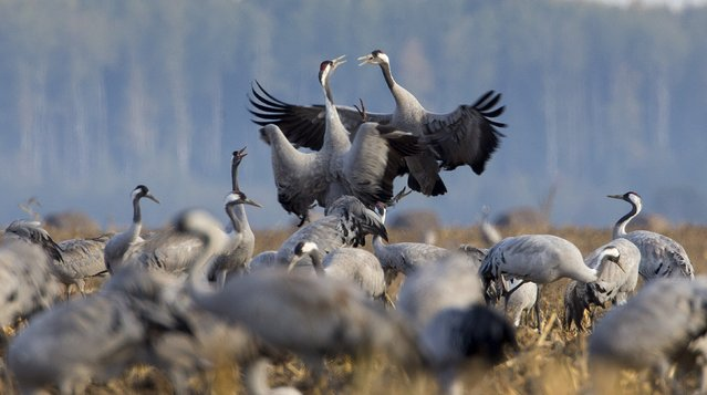 Cranes are seen in a field near the village of Navaselle, north of Minsk, in the remote corner of Belarus, October 15, 2015. Thousands of migrating cranes, which in Belarus are listed as endangered, stop at corn fields not far Yelnya marsh, one of the largest in Europe, to replenish energy reserves before flying south, according to local ornithologists. (Photo by Vasily Fedosenko/Reuters)