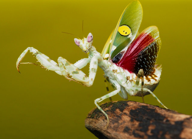The jewelled flower mantis, commonly found in Asia, is believed to be the inspiration for many martial artists is seen in Jakarta, Indonesia on August 2, 2016. (Photo by Prabu Dennaga/Barcroft Images)