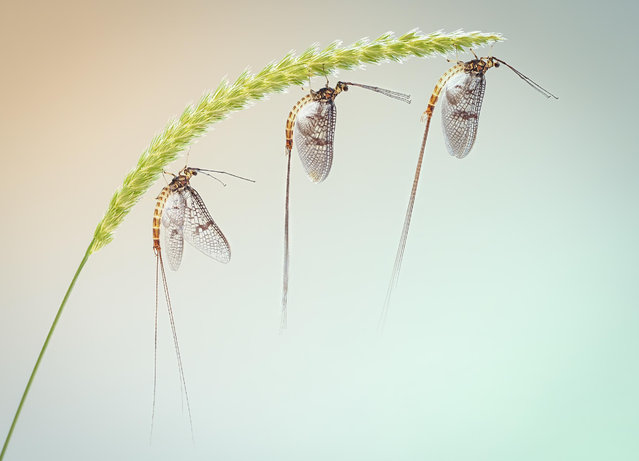 Flies, bees, wasps and dragonflies category winner: Three Mayfly on Crested Dogstail by Peter Orr was shot on the River Kennet near Kintbury, in the UK. (Photo by Peter Orr/Luminar Bug Photographer of the Year 2020)