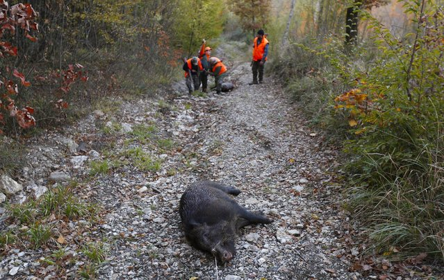 A wild boar lies dead on the ground as hunters examine another dead wild boar during a hunt in Castell'Azzara, Tuscany, central Italy, November 1, 2015. (Photo by Max Rossi/Reuters)