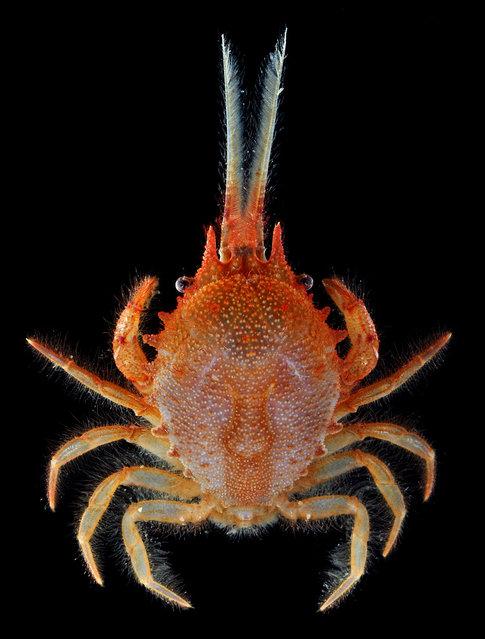 "The ""bipedal crab"", Gomeza bicornis; Singapore Marine. (Arthur Anker)"