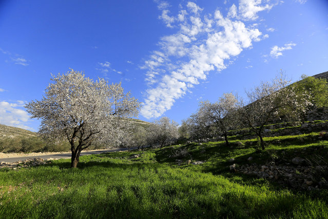 Almond trees bloom in Asera village near the West Bank city of Nablus, 05 February 2015. (Photo by Alaa Badarneh/EPA)
