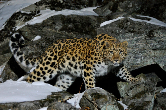 As few as 70 critically endangered Amur leopards are left in the wild, due to habitat destruction and human-wildlife  (Photo by Vladimir Medvedev/Getty Images/Nature Picture Library)