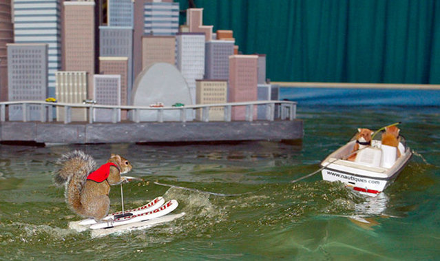 Twiggy The Water Skiing Squirrel