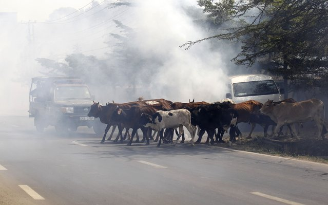 Cattle walk amidst teargas fired by riot police during a protest against a perimeter wall erected by a private developer around Langata primary school playground in Kenya's capital Nairobi, January 19, 2015. (Photo by Thomas Mukoya/Reuters)