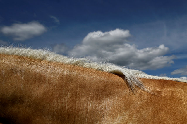 A palomino horse's mane is seen against the sky at Spancil Hill horse fair in Spancil Hill, Ireland June 23, 2018. (Photo by Clodagh Kilcoyne/Reuters)