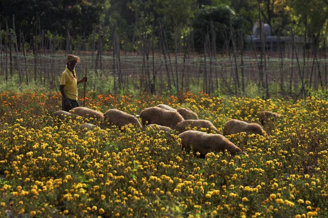 A shepherd keeps a watch as his flock graze in a field of Chrysanthemum flowers on the outskirts of Bangalore on March 23, 2021. (Photo by Manjunath Kiran/AFP Photo)