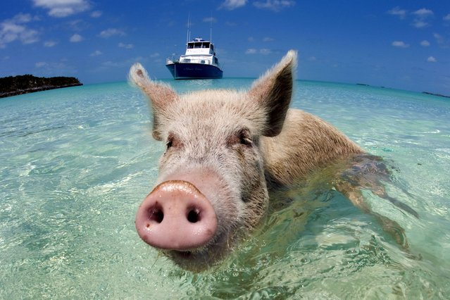 Meet the real beach babes: the herd of pigs that live a life of luxury paddling in the crystal clear waters of the Bahamas, on August 28, 2013. (Photo by Caters News)