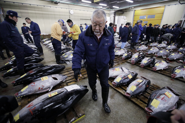 A prospective buyer inspects the quality of frozen tuna before the first auction of the year at Tsukiji fish market in Tokyo, Tuesday, January 5, 2016. (Photo by Eugene Hoshiko/AP Photo)