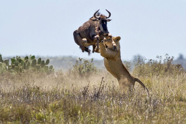 An incredible shot of a buffalo leaping over two metresin the air to try and escape a lion's grasp, on September 26, 2013. (Photo by Jacques Matthysen/Caters News/The Grosby Group)