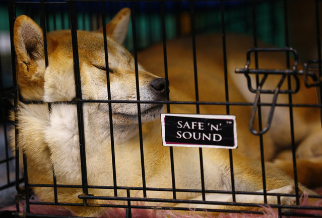 A Japanese Shiba Inu sleeps during the last day of the Crufts Dog Show in Birmingham, central England March 8, 2015. (REUTERS/Darren Staples)