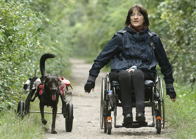 Three-years-old dog Hope uses a wheelchair to run next to its owner Regine Grosinger in Vienna September 3, 2014. Hope was found with cut-off back legs in the countryside and brought to an animal asylum when it was four-month-old. Grosinger took the dog home two months later and had a wheelchair manufactured for it. (Photo by Heinz-Peter Bader/Reuters)