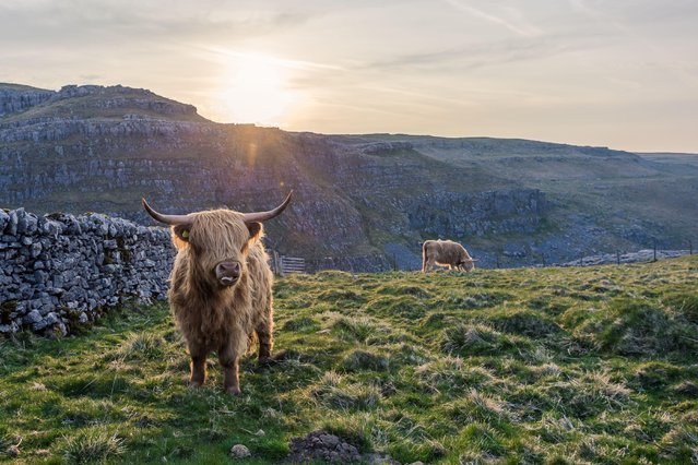 Cattle in Malham on May 7, 2016. (Photo by Dave Zdanowicz/Rex Features/Shutterstock)