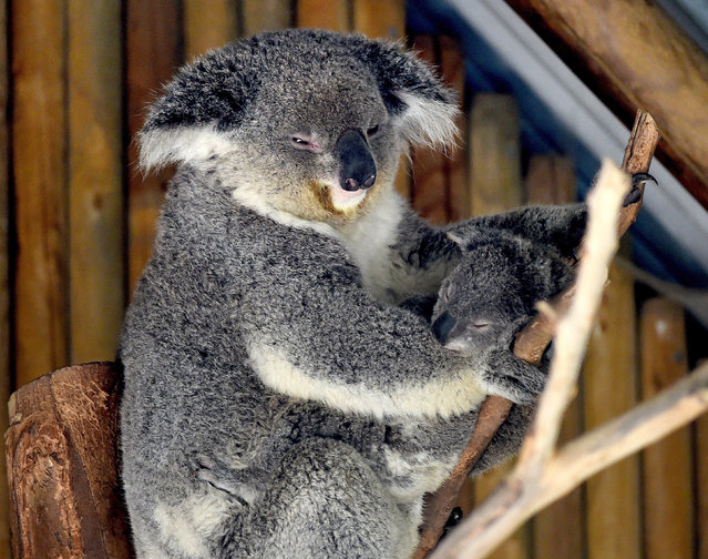 A mother Koala and her newly emerged unnamed Joey in the Australia section of the Los Angeles Zoo, California on March 12, 2015. The kangaroo and koala joeys which are between 7-9 months old are finally emerging from their mothers pouches as spring weather arrives in the city. (Photo by Mark Ralston/AFP Photo)