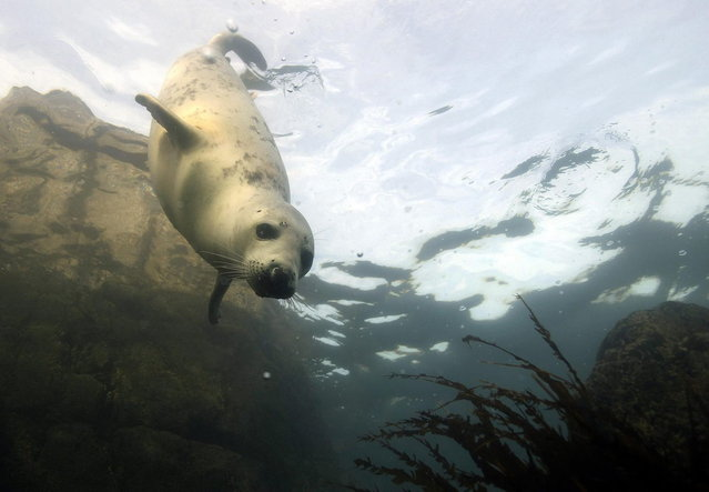 A grey seal swims underwater by the Farne Islands off the Northumberland coast, northern England November 17, 2013. (Photo by Nigel Roddis/Reuters)