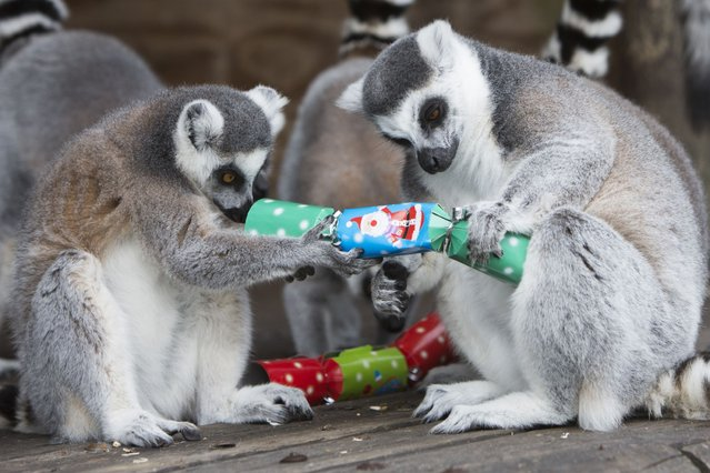 Two ring-tailed lemurs are having a cracking time at Folly Farm and Adventure Zoo in Wales. (Photo by James Davies /PA Wire)