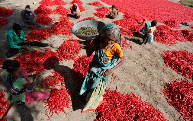 Workers remove stalks from red chillies at a farm on the outskirts of Ahmedabad, India, February 10, 2017. (Photo by Amit Dave/Reuters)
