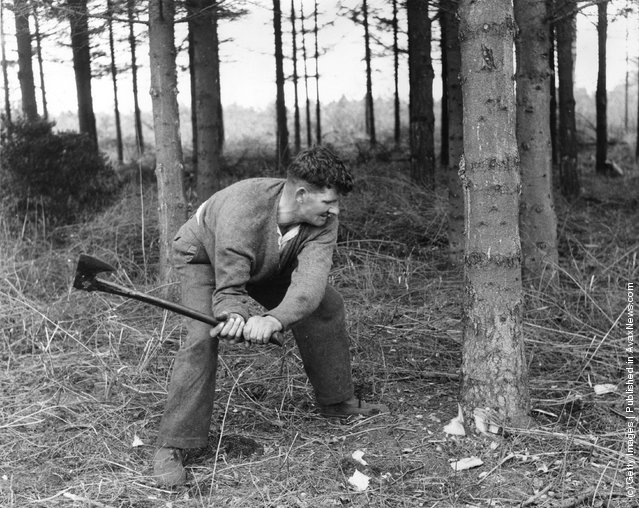 1960: Forestry worker Bill Cordy prepares a Christmas tree for felling on a Forestry Commision Plantation near Thetford in Norfolk