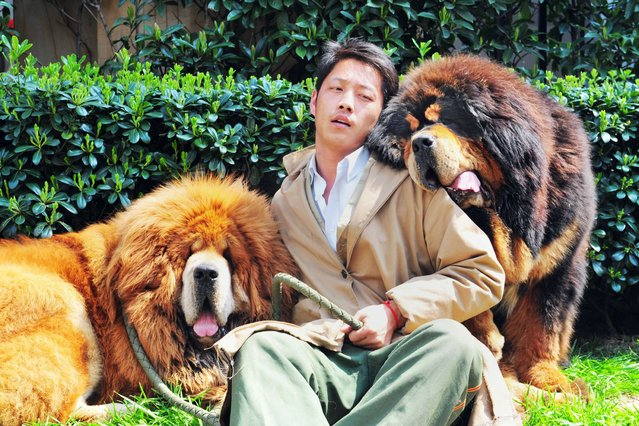 """A man poses for a photo with two Tibetan mastiffs after they were sold at a """"luxury pet"""" fair in Hangzhou, in eastern China's Zhejiang province"""